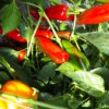 Gros poivron rouge Bio