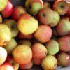 Pommes, variété Pinova Bio